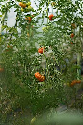Tomaten - p1075m1515654 von jocl