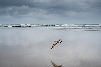 Bird flying at beach against cloudy sky - p1166m2034929 by Cavan Images