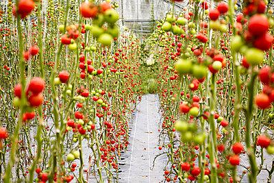 Tomaten im Gewächshaus - p1272m1083324 von Steffen Scheyhing