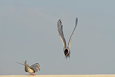 Germany, Schleswig-Holstein, two terns, Sternidae, one flying - p300m975185f by Hans Clausen