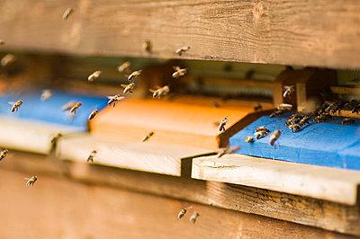 Honeybee hives (Apis mellifera) - p300m980481f by Hans Huber