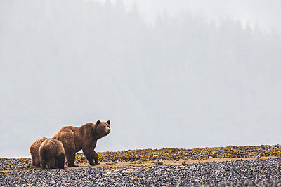 Grizzly bear  and her cubs walking along the shore in the mist, Khutzymateen Bear Sanctuary; British Columbia, Canada - p442m1033552f by Robert Postma