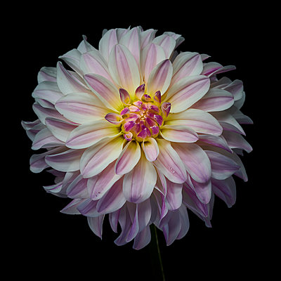 Dahlia blossom in pink and white shades - p587m2115461 by Spitta + Hellwig