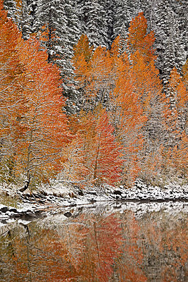 Orange aspens in the fall among evergreens covered with snow at a lake, Grand Mesa National Forest, Colorado, United States of America, North America - p871m1028591f by James Hager