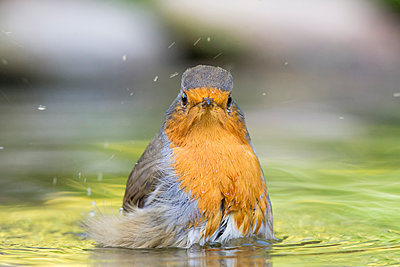 European Robin  bathing, Essex, England - p884m1145378 by John Gooday/ NIS