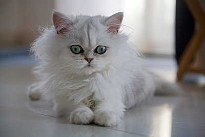 White Persian cat - p300m980530f by Fotofeeling