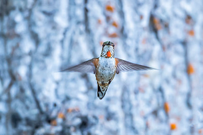 Rufous hummingbird (Selasphorus rufus) flying in mid-air; Atlin, British Columbia, Canada - p442m2074065 by Robert Postma