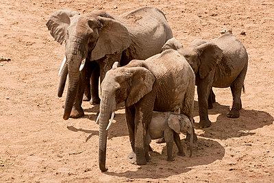 Elephants in sand - p5330253 by Böhm Monika
