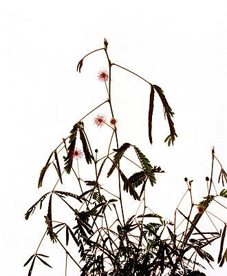 Akazie - p7510017 von Dieter Schwer