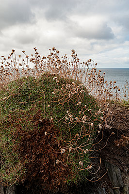 Withered sea thrift plant on coastal path - p1047m2027793 by Sally Mundy