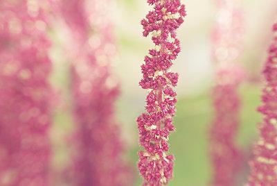 Blütenstand einer rosa Fuchsschwanz Blume - p1578m2168756 von Marcus Hammerschmitt