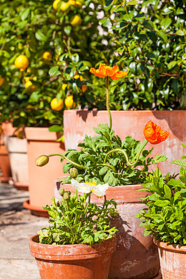 Citrus, poppies, Papaver, and common jasmine, Jasminum officinale, planted in clay pots standing in sunny garden - p300m950916f by Werner Dieterich