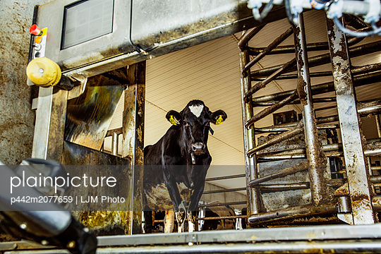 Holstein cow looking out of a milking stall waiting to be milked using automated milking equipment on a robotic dairy farm, North of Edmonton; Alberta, Canada - p442m2077659 by LJM Photo