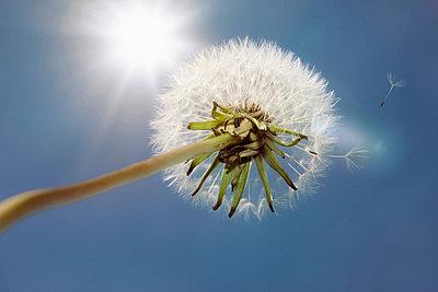 Dandelion seen from below - p1093m855416 by Sven Hagolani