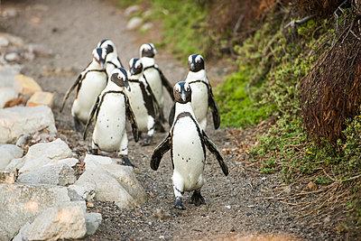 Penguins - p1142m966127 by Runar Lind