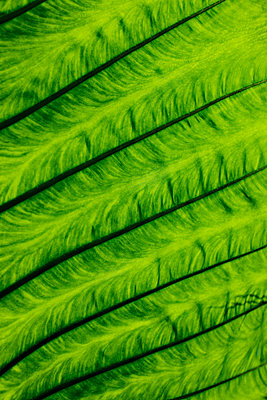 Close up of veins in leaf - p42918475f by Niels Busch