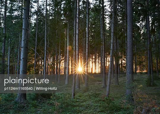 Sonnenuntergang im Wald - p1124m1165540 von Willing-Holtz