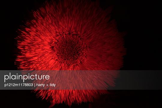 Sonnenblume bei Nacht - p1212m1178803 von harry + lidy