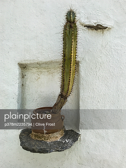 Cactus plant on wall - p378m2235794 by Clive Frost