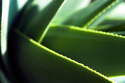 Leafs of Aloe Vera - p867m883417 by Thomas Degen