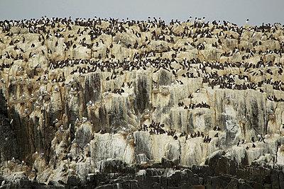 Guillemots on cliff rocks, Farne Islands. Northumberland, England, UK - p924m674283f by David Fettes
