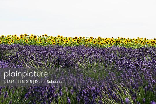 Lavendelfeld und Sonnenblumen, bei Valensole, Plateau de Valensole, Alpes-de-Haute-Provence, Provence, Frankreich - p1316m1161015 von Daniel Schoenen