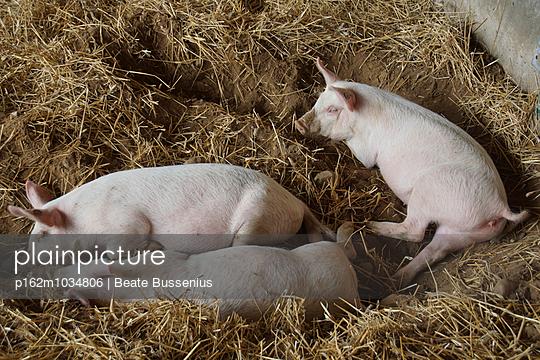Drei schlafende Ferkel - p162m1034806 von Beate Bussenius