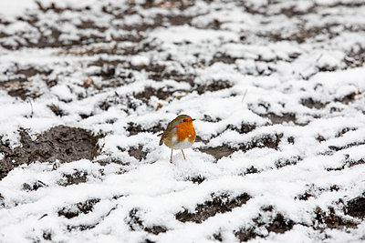 Robin in the snow - p1291m2263419 by Marcus Bastel