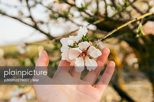 Woman's hand touching almond blossom - p300m2276007 by Mar