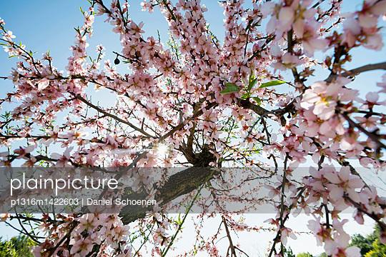 Blossoming almond trees, near Alaro, Majorca, Balearic Islands, Spain - p1316m1422603 by Daniel Schoenen