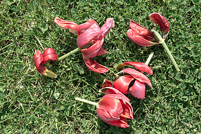 Four deadheaded red tulips on grass - p1433m2132702 by Wolf Kettler