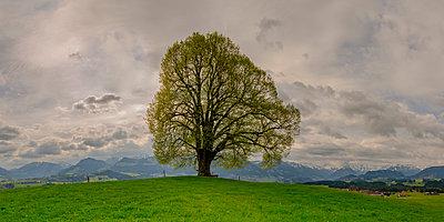 Germany, Bavaria, Allgaeu, Friedenslinde at Wittelsbacher Hoehe - p300m1449487 by Walter G. Allgöwer