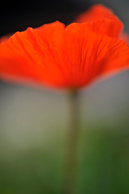Close-up side view of a poppy - p1047m789462 by Sally Mundy