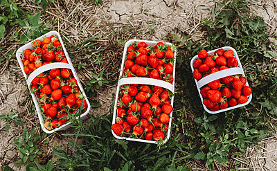 Overhead of full baskets of fresh picked strawberries in a field. - p1166m2290139 by Cavan Images