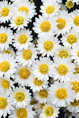 Closeup on white chamomile flowers - p1166m2095224 by Cavan Images