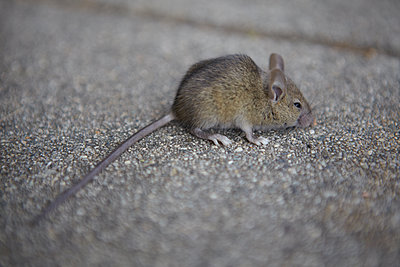 Baby Rat - p1260m1072192 by Ted Catanzaro