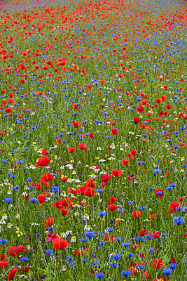 Wildflower meadow of poppies and cornflowers, Monte Sibillini Mountains, Piano Grande, Umbria, Italy, Europe - p871m1583741 by Robert Canis