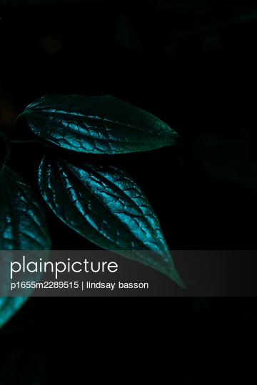 Dunkle blätter vor schwarzem Hintergrund - p1655m2289515 von lindsay basson