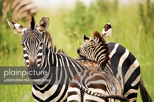 Uganda, Kigezi National Park, Zebra mare with foal - p300m2004164 von realitybites