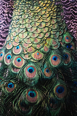 Peacock feathers, close-up - p1600m2215390 by Ole Spata