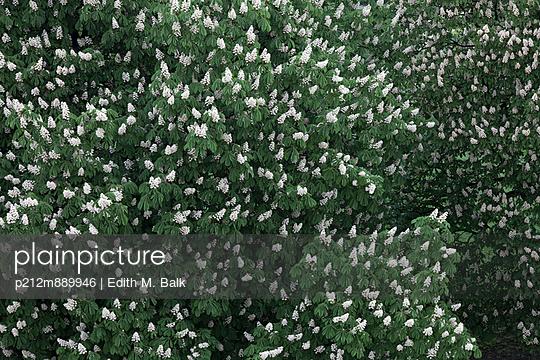 Kastanienblüte - p212m889946 von Edith M. Balk