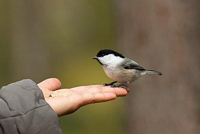 Finland, Kuhmo, rth Karelia, Kainuu, Hand with Willow tit (Poecile montanus) - p300m2199081 by Christian Zappel