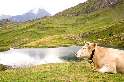 Rind am See - p5790151 von Yabo