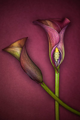 Calla lilly flowers - p971m1039136 by Reilika Landen