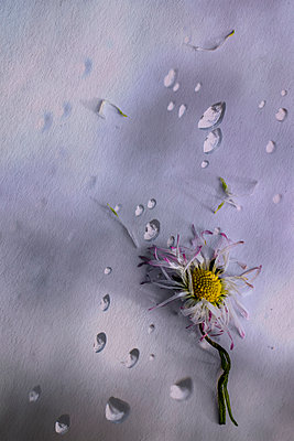 Daisy and water drops - p1228m2054299 by Benjamin Harte