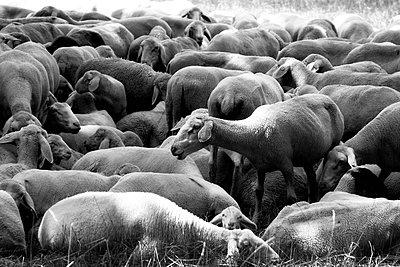 Sheep flock - p450m1115916 by Hanka Steidle