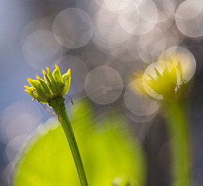 Wild flower without petals, circles of light in the background - p1682m2270263 by Régine Heintz