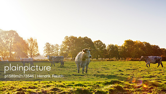 Free-range cattle on pasture - p1589m2173546 by Hendrik Rauch