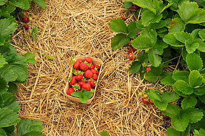 Fresh strawberries - p470m830640 by Ingrid Michel
