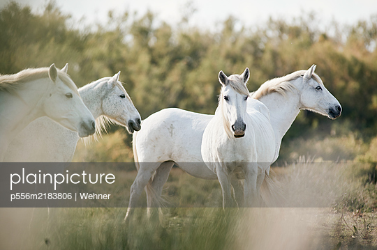 Wild Camargue horses, France - p556m2183806 by Wehner